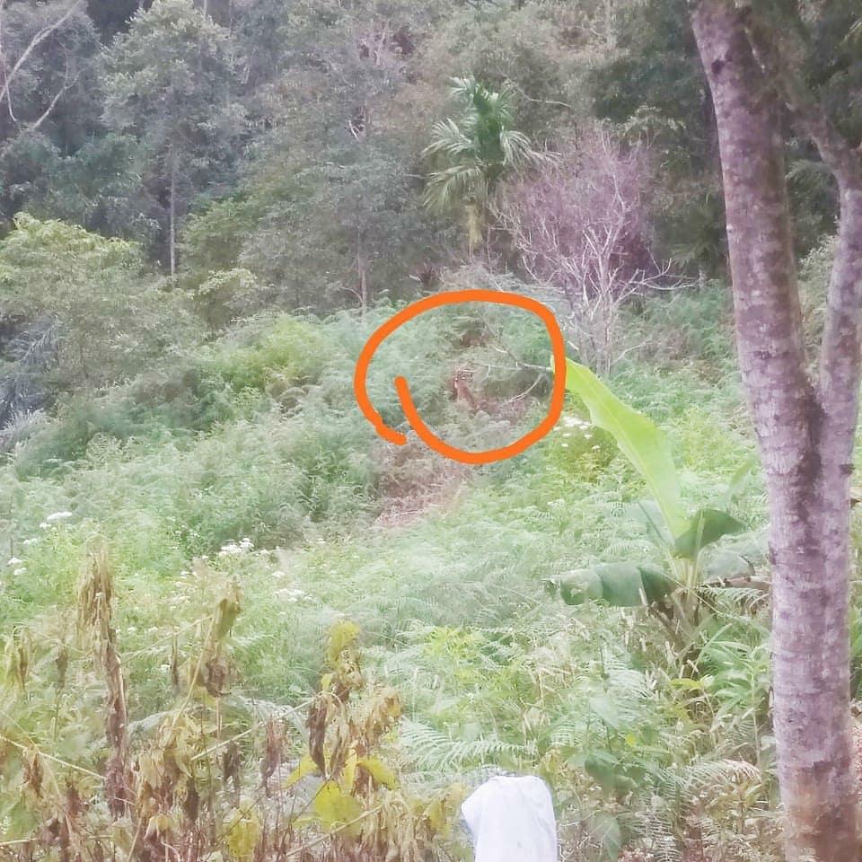 Penghalauan Harimau Sumatera di Nagari Gantung Ciri Kabupaten Solok