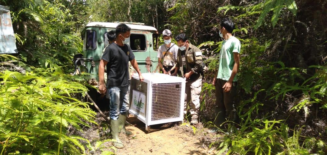 Macan Dahan (Neofelis diardi diardi) akhirnya dilepasliarkan di Nagari Supayang